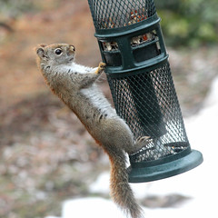 Red Squirrel Goes for a Swing (rgdaniel) Tags: squirrel red twitchy rodent animals wildlife