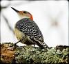 DSCN3560-2 (DianeBerky19) Tags: nikon coolpixp1000 bird woodpecker backyardbird redbelliedwoodpecker tree lichen