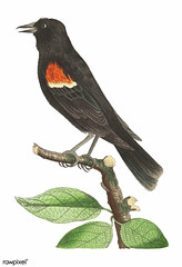 Red-shouldered oriole or Red-winged starling illustration from The Naturalist's Miscellany (1789-1813) by George Shaw (1751-1813) (Free Public Domain Illustrations by rawpixel) Tags: otherkeywords animal antique art bird design drawing georgeshaw graphic illustration isolated life name natural oriole redshoulderedoriole redwingedstarling sketch starling thenaturalistsmiscellany vintage zoology pdproject22batch1board