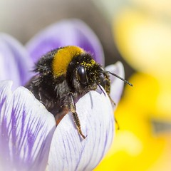 Little Bumblebee (Martin Bärtges) Tags: insekten naturfotografie naturephotography outdoor outside drausen natur nature farbenfroh colorful nikonphotography nikonfotografie d7000 nikon macrophotography makrofotografie makro macro hummel bumblebee insect