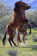 _V5A2221 (littlebiddle) Tags: arizona wildhorse saltriver nature wildlife