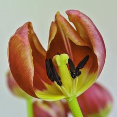 """Damaged plant"" (Kat-i) Tags: macromondays ""picktwo"" damaged pkant tulpe tulip beschädigt blüte blossom makro nikon1v1 kati katharina 2019 january21 flower"