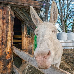 White Donkey (Bephep2010) Tags: 2018 7markiii aeschi aeschibeispiez aeschiried alpha baum bern esel herbst ilce7m3 sel1635z schweiz sony stall switzerland tier animal autumn barn donkey fall tree weiss white ⍺7iii kantonbern ch