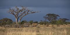 Peaceful Elephants (thomaswoyke) Tags: amboselinationalpark elephant kenya kenia safari