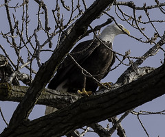 BaldEagle_SAF0382 (sara97) Tags: haliaeetusleucocephalus baldeagle bird birdofprey copyright©2019saraannefinke eagle missouri nature photobysaraannefinke raptor saintlouis wildlife