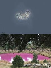 UN CUENTO EN EL LAGUNILLO DE LAS CARDENILLAS, EL  PARÁISO DE DESMARELLA. (PROYECTO AGUA** /** WATER PROJECT) Tags: coanoflagelado flagelado protist protistas pondlife microscopy proyectoagua iesescultordaniel antonioguillén larioja spain taxonomy:kingdom=protozoa taxonomy:class=choanoflagelateae fotografíamicroscópica microfotografía microscopio microphotography vidaocultadelagua microorganismos fotografíasmicroscópicas photomicrography imágenesmicroscópicas vidaoculta lavidaocultadelagua thelifehiddenofthewater españa lagodesanabria biodiversidadvirtual heliossanabria zamora taxonomy:phyllum=choanozoa taxonomy:family=codonosigaceae taxonomy:genus=desmarella taxonomy:binomial=desmarellamoniliformis lagunillodelascardenillas cañadadelhoyo cuenca taxonomy:species=moniliformis