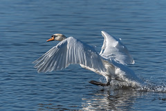Acrobtic Mute Swan (Rivertay07 - thanks for over 4 million views) Tags: wwt wwtwelney bird rivertay richardstead copyrightprotected swan muteswan cygnusolor