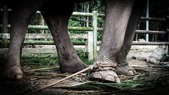 Tied up (Cédric Nitseg) Tags: slavery nikon asia abuse greelow slave voyage backpacking elephant backpacker eye travel oeil travelling asie thaïlande kohsamui d7000 animal éléphant thailand