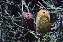 Banksia pilostylis, Kings Park, Perth, WA, 21/12/94 (Russell Cumming) Tags: plant banksia banksiapilostylis proteaceae kingspark perth westernaustralia