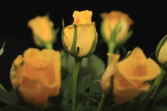 Yellow Roses (9/52) (Stu.G) Tags: project52 project 52 project522019 522019 2mar19 2ndmarch2019 2nd march 2019 march2019 2ndmarch 2319 020319 232019 02032019 canoneos40d canon eos 40d canonef50mmf14usm ef 50mm f14 usm ef50mm ef50mm14 canon50mmf14 england uk unitedkingdom united kingdom britain greatbritain d europe eosdeurope canonspeedlite430exiiflashgun speedlite 430ex ii flashgun canonspeedlite canonspeedlite430exii canonflashgun canonspeedliteflashgun rose yellow yellowrose yellowroses roses yellowflower yellowflowers flower flowers