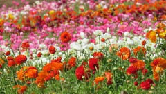 Flower Fields of Carlsbad California (moonjazz) Tags: orange pink white flowers spring bloom nature beauty color carlsbadflowerfields growing spectacular fields plants commercial carlsbad california travel display ranniculous patterns rows