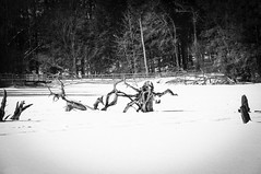 Walkies with Jack (Dad from Hell) Tags: canada canadarocks garypaakkonen huronnaturearea photography d300s ice lake landscape nikon snow winter sigma lightroom ontario kitchener stumps trees forest nature pond outdoors