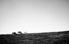 sheep (Jos Mecklenfeld) Tags: sheep schafe schapen dike deich dijk fiemel groningen landscape landschaft landschap netherlands niederlande nederland minoltahimatic7sii minolta himatic rokkor rangefinder efkekb25 efke25 efke film ishootfilm analog analogue epsonv500