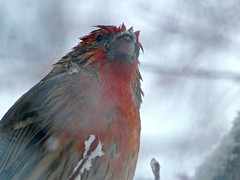 Wet Male House Finch (Haemorhous mexicanus) in a Blizzard (Ginger H Robinson) Tags: wet feathers male housefinch finch bird haemorousmexicanus blizzard snowstorm snow denver colorado rockymountain frontrange cold blowingsnow wind