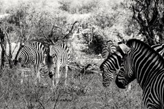 Barcoded II (Nugohs1) Tags: southafrica afriquedusud africa sanpark kruger zebre zebra bush wild nature blackandwhite noiretblanc