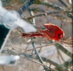 Male Northern Cardinal (REGOR NOTPUL) Tags: male northern cardinal glenburnie ontario