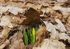 Spring is pushing up (Eat With Your Eyez) Tags: winter spring march fairlawn ohio fort island park summit county plant nature bloom blooming grow growing dead leaves brown green yellow woods outdoors sunny boardwalk living rebirth panasonic fz1000