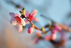 Couleurs de printemps -1- (mamietherese1) Tags: earthmarvels50earthfaves world100f alittlebeauty coth coth5 ngc 200v200c2000v