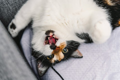 Lilu (donnicky) Tags: cat closeup domesticanimal home indoors lookingatcamera lying oneanimal openmouth pet sofa teeth topview wild лилу d850