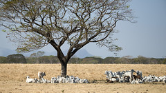 Costa Rica - Cattle shading under a tree (Rez Mole) Tags: costa rica cattle