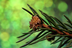 Holiday Bokeh (Millie Cruz) Tags: macromondays green needles pine tree branch macro holidaybokeh happyholidays christmastree flower nature outdoors canoneosrebelt6i ef100mmf28lmacroisusm