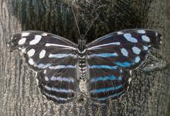 Myscelia cyaniris royal blue butterfly (Torok_Bea) Tags: mysceliacyanirisroyal bluebutterfly butterfly beautiful sigma sigma105 nikon nikond7200 nature natur summer mariposa papilon wonderful mysceliacyaniris