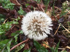 Damp dandelion (UnconventionalEmma) Tags: vg