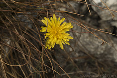 """Mountain Dandelion • <a style=""""font-size:0.8em;"""" href=""""http://www.flickr.com/photos/63501323@N07/32609205357/"""" target=""""_blank"""">View on Flickr</a>"""