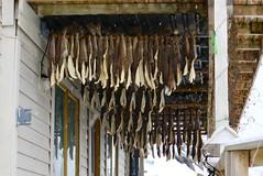 Stockfish drying on the verandah (Kumukulanui) Tags: stockfish cod fishing honningsvåg norway cold arctic village flickrsbest kamoyvaer hurtigruten