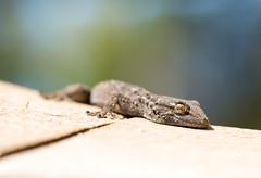 Moorish Gecko (Tarentola mauritanica) (piazzi1969) Tags: elements moorishgecko tarentolamauritanica commonwallgecko geckos reptiles herps herpetology animals reptilien wildlife nature canon eos 7d markii ef 100mm fauna portugal algarve quintadolago
