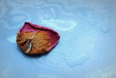 Dried Petal and the Water Drops (Clare-White) Tags: smileonsaturday single petal onesinglepetal rose dried old colour blue life stilllife