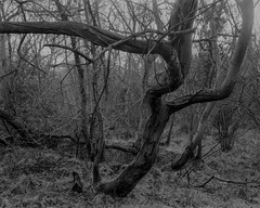 Twisted Tree (Hyons Wood)Walker Titan SF with Nikkor 210mm Lens, 8 sec @ f32, Ilford Delta 400 in FX39. (Jonathan Carr) Tags: tree trees ancientwoodland hyonswood largeformat monochrome blackandwhite walkertitansf delta100 landscape rural northeast 4x5 5x4