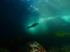 Australian fur seal (Cositos :)) Tags: seal foca astralia underwater photography wide angle free diving olympus 918mm australia sea mar fotosub australian fur arctocephalus pusillus