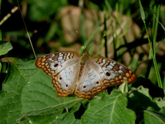 P1210576  White Peacock (birder2015 Toronto, Canada) Tags: whitepeacock butterfly mariposa insect resort holguincuba lepidoptera