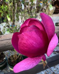 Saucer Magnolia/Magnolia × soulangeana Each Los Angeles winter/spring these saucer magnolia trees throughout the neighborhood spring to life. They are striking for a number of reasons but I think the main reason is the fact the the flowers appear of bare (dewelch) Tags: