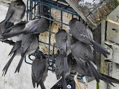 Feeding Frenzy (robinlamb1) Tags: nature outdoor bird animal bushtit psaltriparusminimus suetfeeder suet