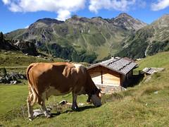 (piper969) Tags: mucca cow mountain montagna baita alpeggio valleaurina pascolo