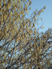 Winkworth Arboretum (Tony's Trains and Buses) Tags: winkworth arboretum spring nationaltrust catkins