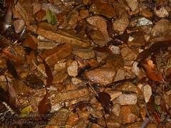 Megophrys ombrophila #10 DSCN1135v3 (Kevin Messenger) Tags: amphibians frog fujian wuyishan megophrys ombrophila amphibia toad china kevin messenger hollis dahn new species guadun herpetology canon wildlife research nature