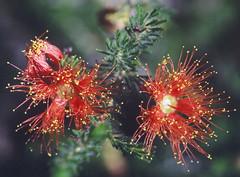 Eremaea fimbriata, Kings Park, Perth, WA, 22/12/94 (Russell Cumming) Tags: plant eremaea eremaeafimbriata myrtaceae kingspark perth westernaustralia