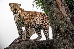 Leopard Standing on a Limb (helenehoffman) Tags: africa kenya pantheraparduspardus felidae mammal conservationstatusvulnerable cat feline africanleopard leopard bigcat maasaimaranationalreserve animal alittlebeauty specanimal coth coth5