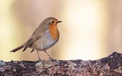 European Robin (Alex Perry Wildlife Photography) Tags: robin europeanrobin bird muscicapidae birdphotography alexperry alexperryphotography wildlifephotography erithacusrubecula erithacus bleanwoods kent
