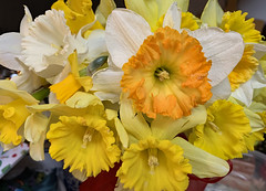 From the Yard (BKHagar *Kim*) Tags: bkhagar buttercup buttercups daffodil daffodils flowers yellow white bouquet fromouryard