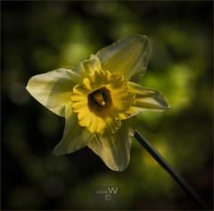 Daffodil for Caroline (ziggystardust111) Tags: flower daffodil yellowflower blurredbackground