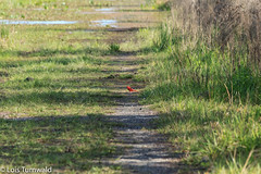 Pop of Red on Cones Dike - HTT (11Jewels) Tags: canon 70300 cardinal bird conesdiketrail paynesprairiepreservestatepark gainesvillefl trailsthursday