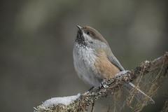 Boreal chickadee (passion photos animalières) Tags: borealchickadee mésangeàtêtebrune poecilehudsonicus