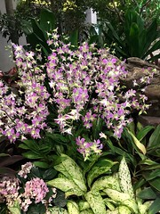 Singapore orchids (birdsey7) Tags: singapore flowers 2019pad