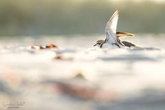 YOGA (stephanegachet) Tags: france bretagne breizh bzh morbihan ploemeur plage beach oiseau sea seabird bird gravelot nature animal stephanegachet gachet