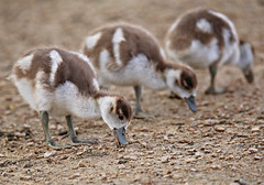 Egyptian Geese Chicks - Michael Bird (Just call me Doc) Tags: egyptiangeesechicks youngbabies duck goose attenboroughnaturereserve nottingham michaelbird canon tamron g2 6d 150600mm