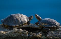 Turtle Friends (Daren Grilley) Tags: turtles lake santa clarita valencia bridgeport turtle fuji fujifilm fujix xt3 xf100400